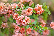 01quince-Japanese-flower-ornamental-plan