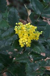 Mahonia-aquifolium_EH.JPG