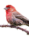 house-finches-electronic-bird-control-re