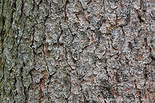 Spruce-White-Bark-807320.jpg