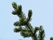 bristlecone_pine_1040750-320.png