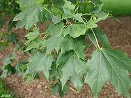 Acer-platanoides-JH.jpg