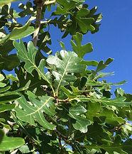Quercus-gambelii-Gambel-oak-leaves-Janic