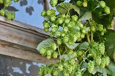 hop-harvest-1596086_1920-1290x861.jpg