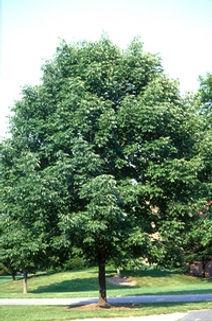 Fraxinus americana.jpg