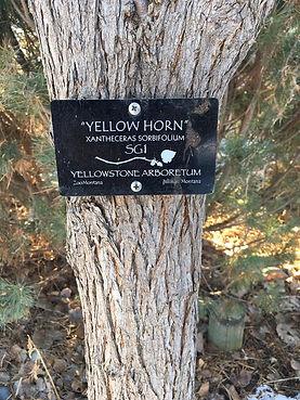 SG1-YellowHorn.jpeg