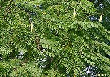 Gymnocladus-dioicus-leaf-small-JH.jpg