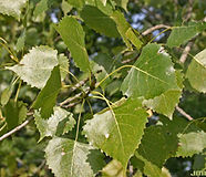 Populus-deltoides-lvs-JH.jpg
