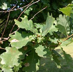 Quercus-robur-leaf-sm-JH.jpg