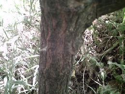 Mulberrybark1.JPG