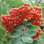 Sorbus-aucuparia-JH.jpg