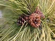 Pinus-resinosa-lvs-cone-JH.jpg