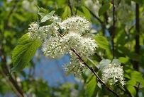 Prunus-maackii_KB.JPG