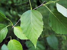 BIRCH_WHITE_leaves.jpg