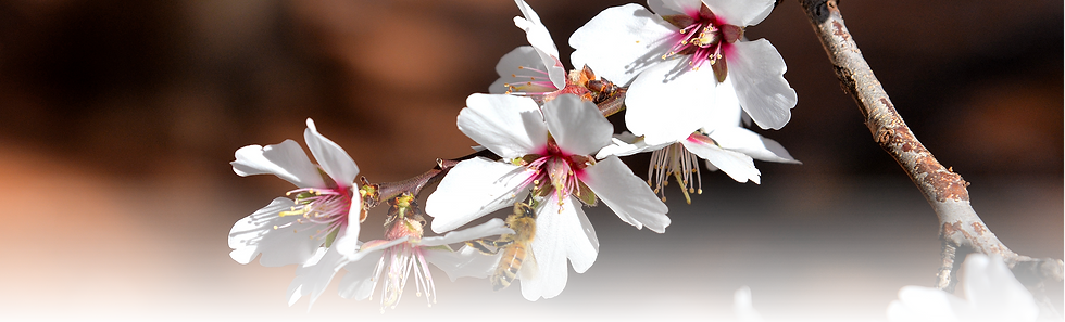 almond-blossom.png