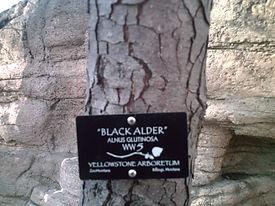 WW5-BlAlder.JPG