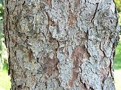 220px-White_Spruce_bark_detail,_Chalco_H