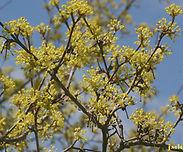Cornus-mas-flower-sm-JH.jpg