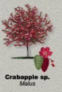 Crabapple.png