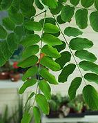 robinia-purple-robe-leaves.jpg