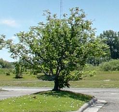 Corktree.png