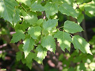 Acer-ginnala-leaf-sm-JH.jpg