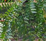 Gleditsia-leaves-sy.jpg
