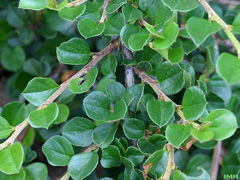 Cotoneaster-apic-leaf-sm-JH.jpg