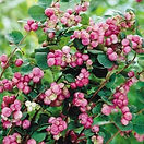indian-currant-coralberry.jpg