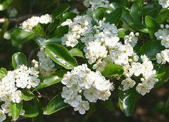 Crataegus-crusgalli-flower-.jpg