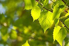 BirchLeaves.jpg