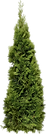 fir_tree_png3688.png