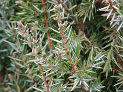 juniperus-communis-JH.jpg