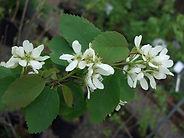 Amelanchier-alnifolia-flowers-624x468.jp