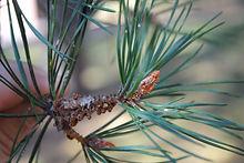 Scots-Pine-2.jpg