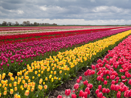 Tiptoe thru the Tulips from Istanbul to Holland