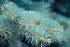 Spruce-Needles-Closeup.jpg