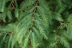 Metasequoia-leaf_KB.JPG