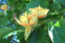 Tulip Tree Bloom 3 2010.JPG