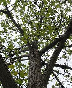 populus-heterophylla-morton-arboretum-wp