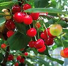 Cherry_Montmorency-1.jpg