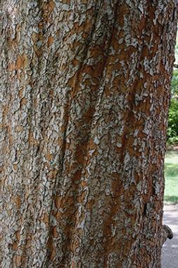 ulmus-parvifolia-EH.jpg