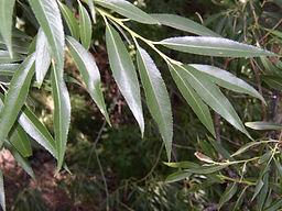 narrowleaf-cottonwood-leaves.jpg
