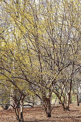 cornelian-cherry-tree.jpg