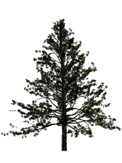 Fir-Tree-Free-Download-PNG.png