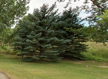 Homestead Spruce.png