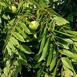 Juglans-nigra-leaf-sm-JH.jpg