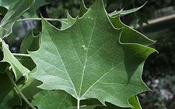 american-planetree-leaves-e1516887560378