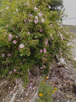 Rosa-nutkana-beach.png