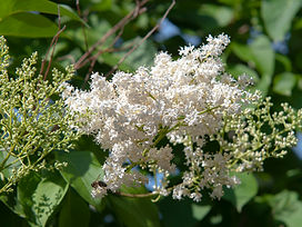 japanese-lilac-tree-care-and-growing-guide-4589076_03-36e1ded3d77f45bca78ab07f0f287bde.jpg